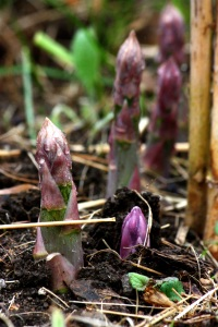 spring asparagus emerging garden vegetables