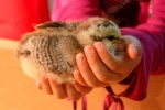 Ameraucana chick two weeks