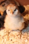 ameraucana chick day old