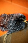 barred rock 3 weeks