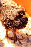 barred rock chick 3 weeks