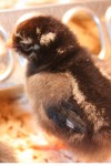 silver laced wyandotte chick one day