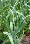 garlic scapes vegetable garden