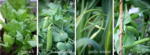 fava beans peas garlic scapes spinach kitchen garden