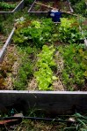 lettuce, garden bed, vegetable garden, drip irrigation