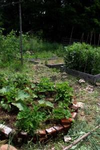 growing strawberries rhubarb favas