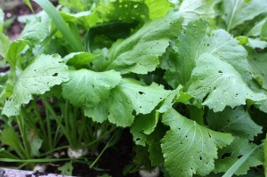 turnip greens, kitchen garden