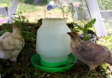 ameraucana chicks, chicken ark