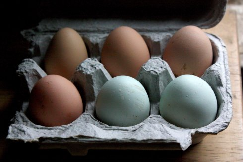 ameraucana eggs, silver laced wyandotte eggs, barred rock eggs